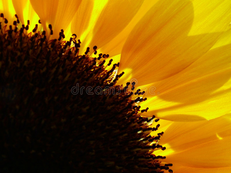 solros royaltyfri fotografi