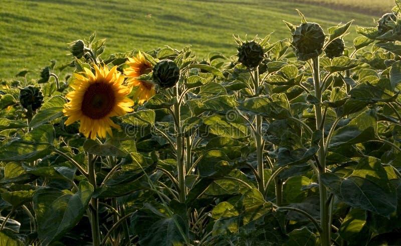 Download Solros arkivfoto. Bild av färger, färg, fält, blomma, yellow - 28854