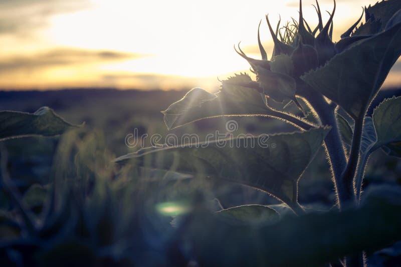 Solros arkivfoto