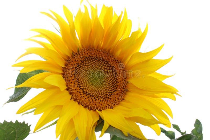 Download Solros arkivfoto. Bild av solros, huvud, vegetation, växt - 979422