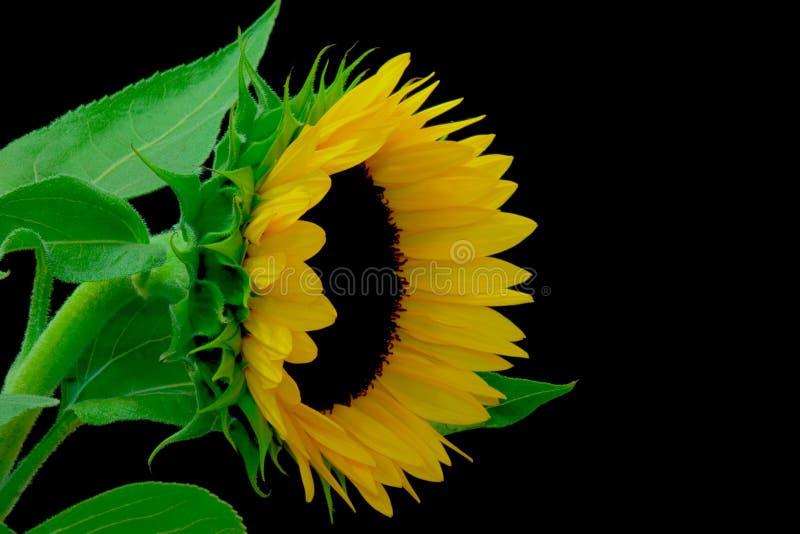 Download Solros fotografering för bildbyråer. Bild av natur, blomma - 996973