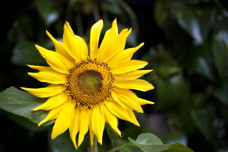Solros den iconic skönheten av naturen royaltyfri foto