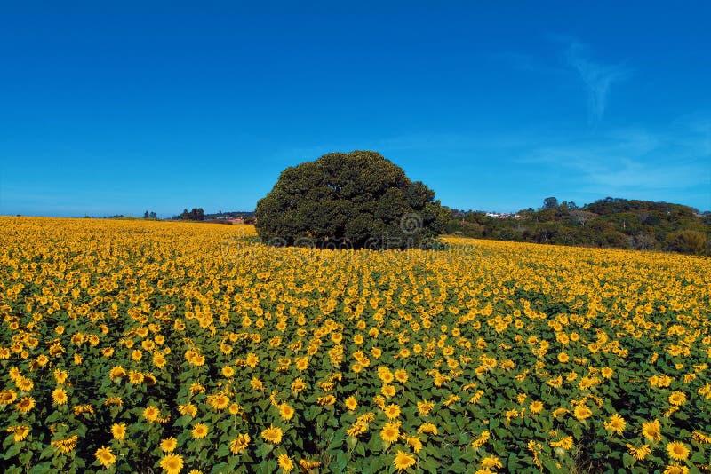 Solros: Flyg- sikt av att plantera i Brasilien Härligt landskap arkivbilder