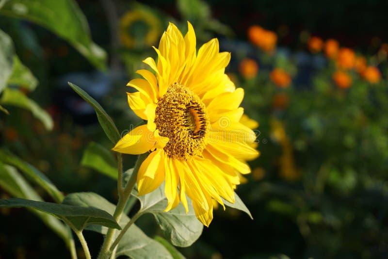 Solros i den tropiska blommaträdgården arkivfoton