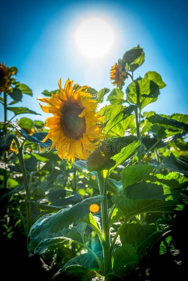 Solros i ett fält av solrosor arkivfoton