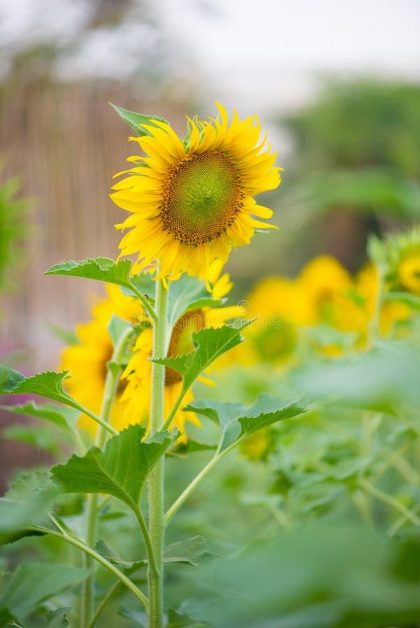 Solros i naturlig bakgrund Solrosblomning i trädgård royaltyfri fotografi