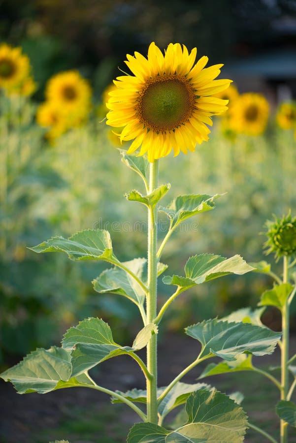 Solros i naturlig bakgrund Solrosblomning i trädgård royaltyfri foto