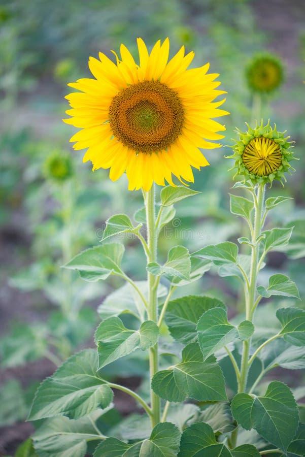 Solros i naturlig bakgrund Solrosblomning i trädgård royaltyfria foton