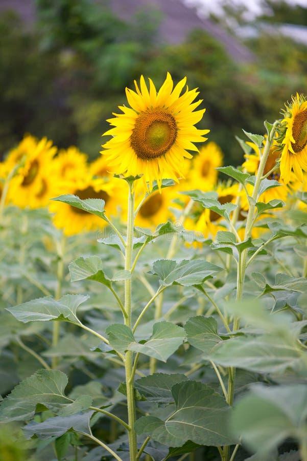 Solros i naturlig bakgrund Solrosblomning i trädgård royaltyfria bilder