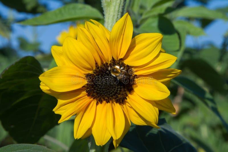 Solros med biet arkivfoton