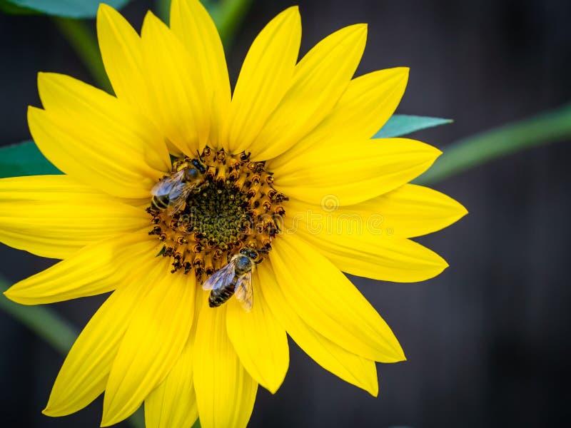 Solros med bin Pollination av blommor arkivfoto