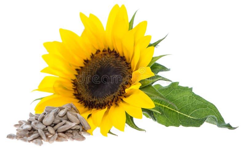 Solros med frö på vit arkivbild