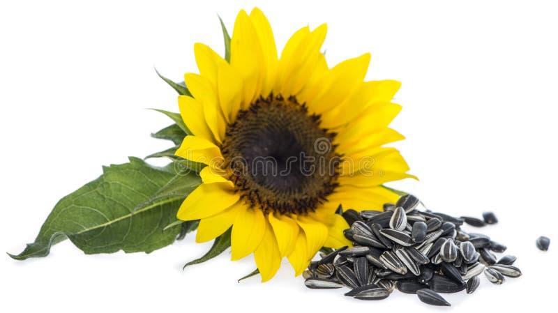 Solros med frö på vit royaltyfri fotografi