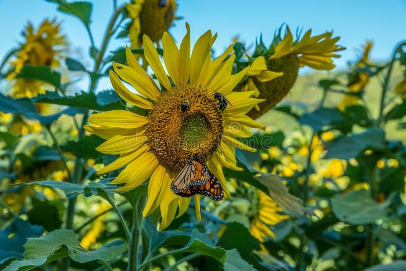 Solros med pollinators en fjäril och bin arkivbilder