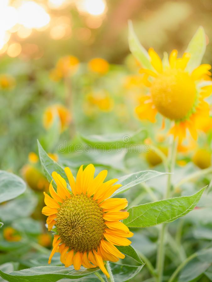 Solros med solljus, solros med solljus, naturlig bakgrund för solros arkivfoto