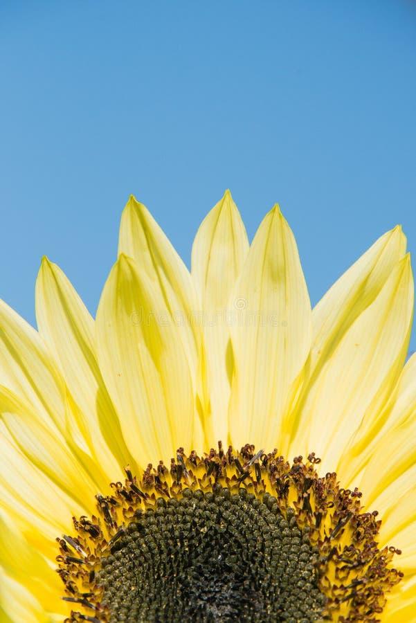 Solros mot en blåttsky fotografering för bildbyråer