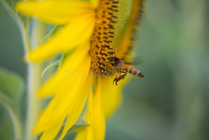 Solros och bin på naturlig grund arkivfoto