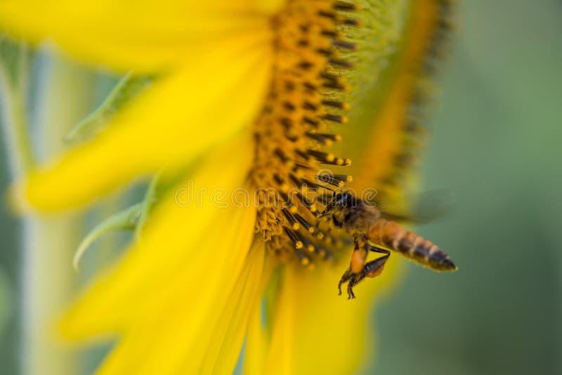 Solros och bin på naturlig grund arkivfoton