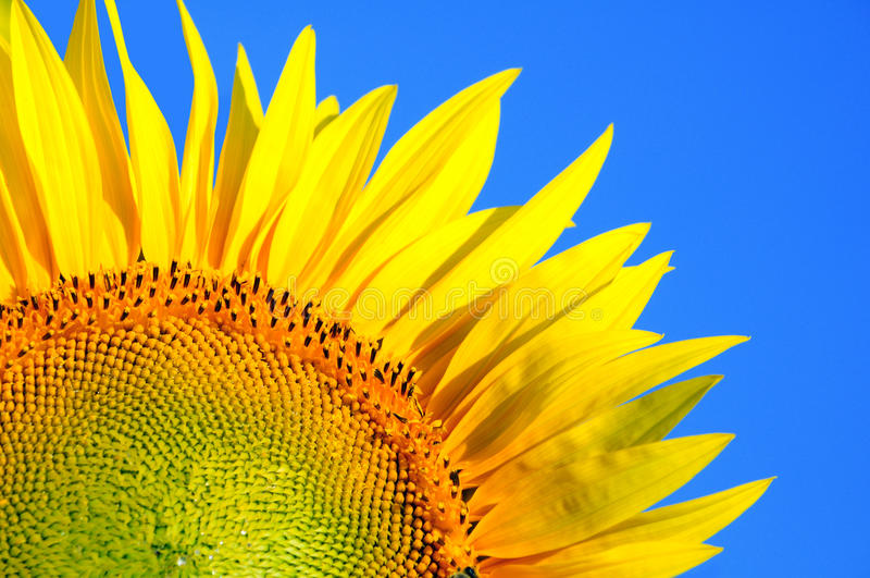 Solros och blå himmel arkivfoton