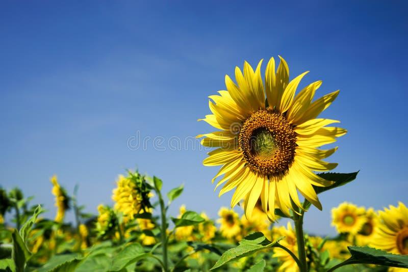 solros och bluesky royaltyfri fotografi