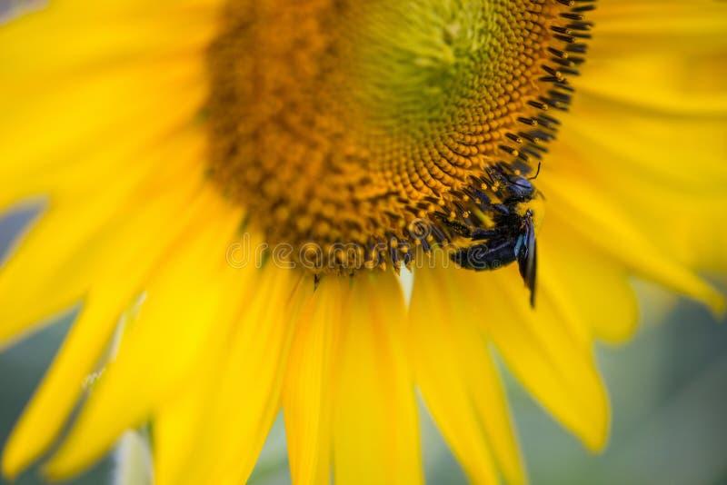 Solros och humlor mot naturlig bakgrund fotografering för bildbyråer