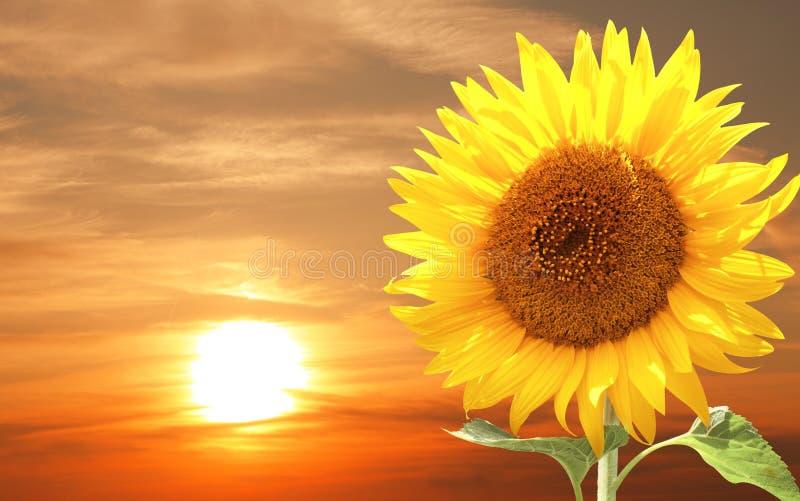 Solros och solnedgång arkivfoton