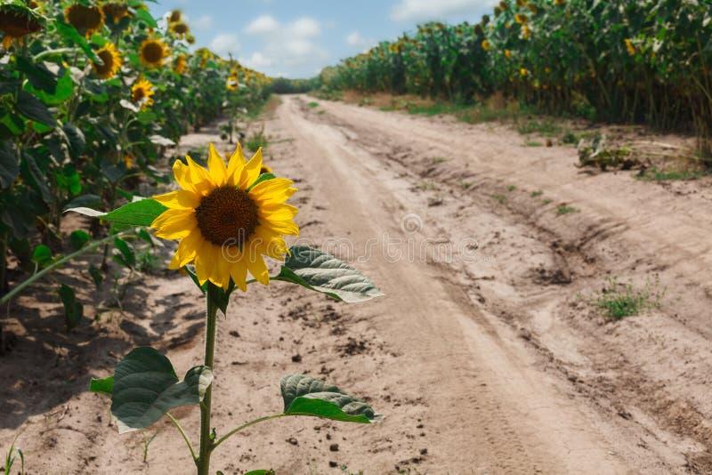 Solros på fältbakgrund, jordbruks- olje- lantbruk arkivfoton