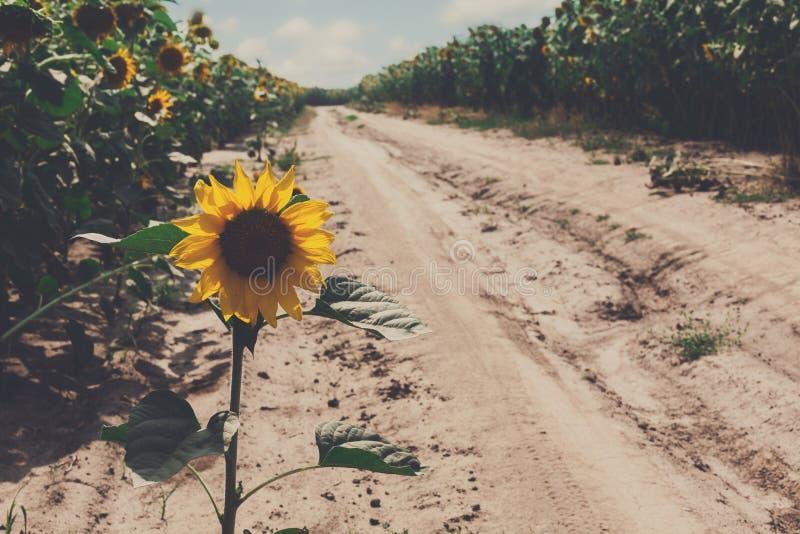 Solros på fältbakgrund, jordbruks- olje- lantbruk royaltyfria bilder