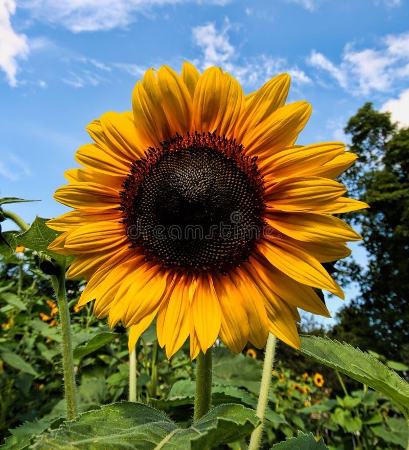 Solros sen sommar i New England royaltyfri bild