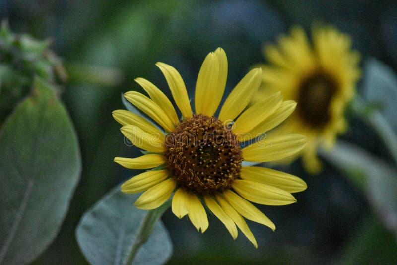 Solros som är naturlig i trädgård royaltyfria foton