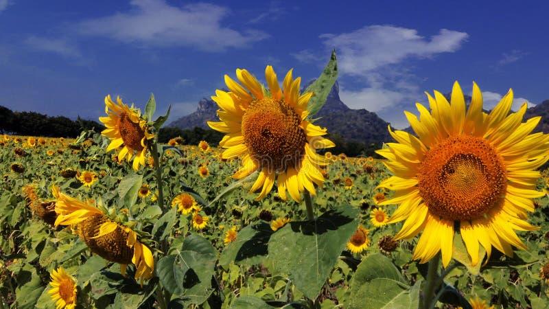 Solros som blommar, stor solros, härlig solros på blå himmel royaltyfri fotografi