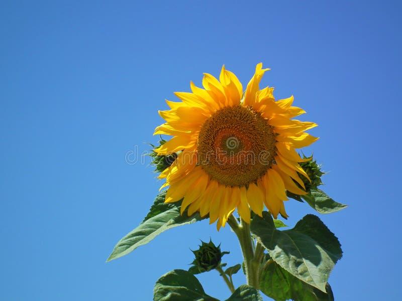 Solros som isoleras i blå himmel fotografering för bildbyråer