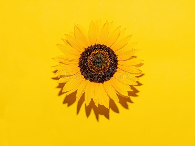 Solrosblomma, på gul bakgrund med copyspace Hårt ljus för varm effekt royaltyfri fotografi