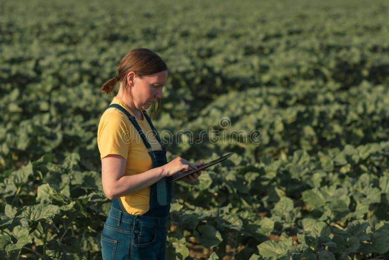 Solrosbonde som använder minnestavladatoren i skördfält, innan att blomma royaltyfria bilder