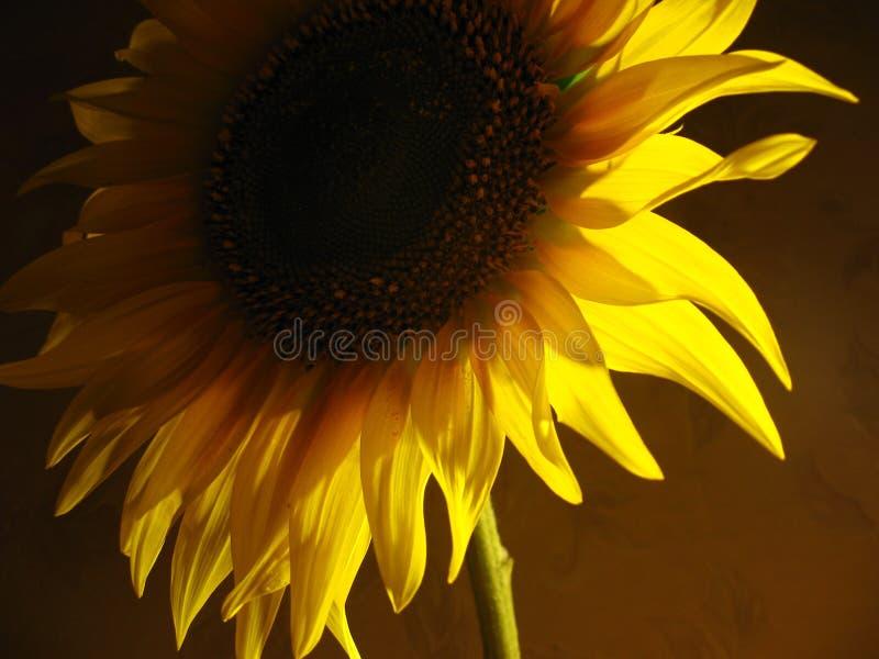 Solrosen och skuggar arkivfoton