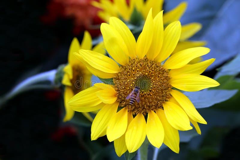 Solrosen och a stapplar biet royaltyfria bilder