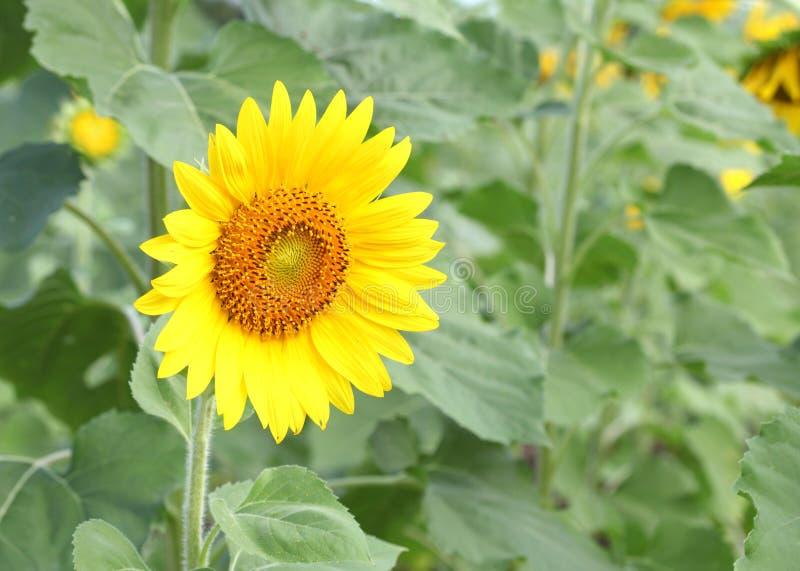 Solrosen på att blomma är gul i brett fältland royaltyfria bilder