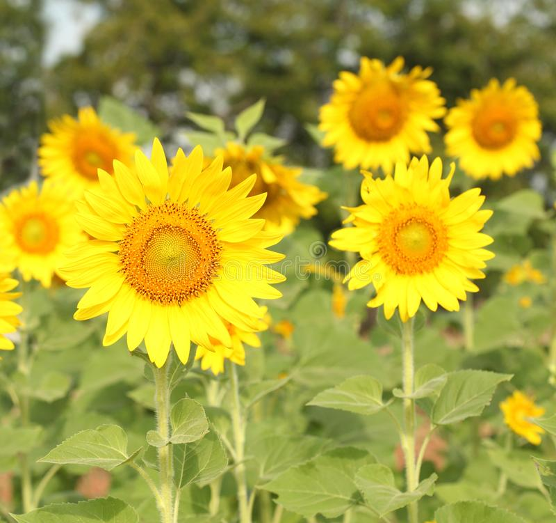 Solrosen på att blomma är gul i brett fältland royaltyfri bild