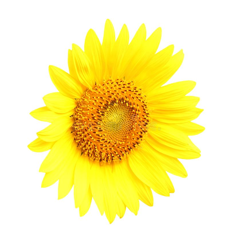 Solrosen på att blomma är gul i brett fältland arkivbilder