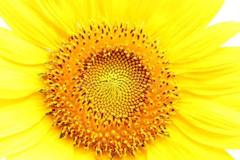 Solrosen på att blomma är gul i brett fältland royaltyfria foton