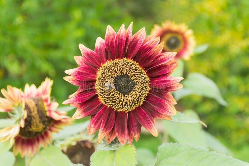 Solrosen pollineras av bin fotografering för bildbyråer