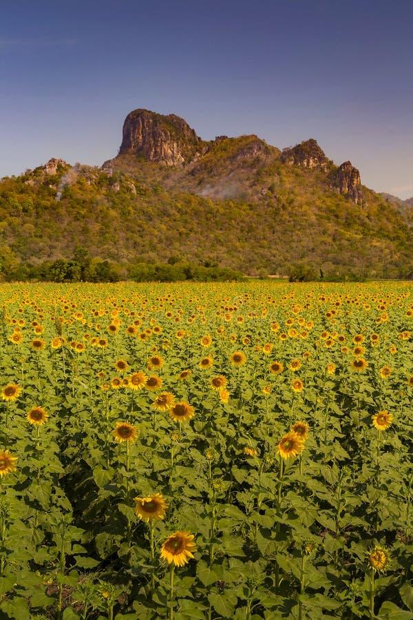 Solrosfält för full blom fotografering för bildbyråer