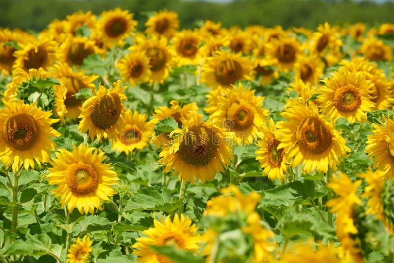 Solrosfält, gul blommacloseup, härligt sommarlandskap arkivfoton