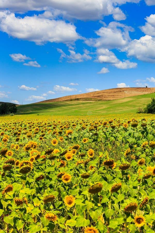 Solrosfält i den tuscan regionen San Quirico D Orcia i Ita royaltyfri bild