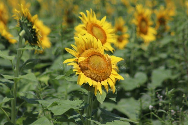 Solrosfält i Illinois 2019 II royaltyfria bilder