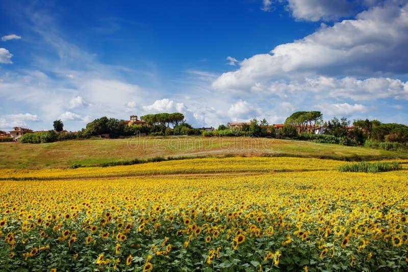 Solrosfält i Tuscany fotografering för bildbyråer