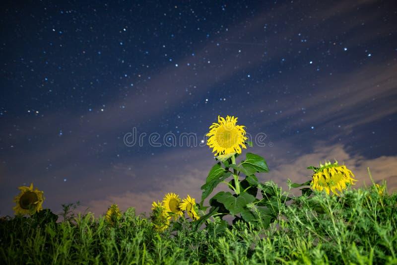 Solrosfält på natten, astrophotography, stjärnor på himmel royaltyfria foton