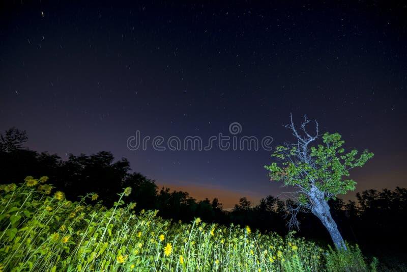 Solrosfält på stjärnanatten arkivbilder