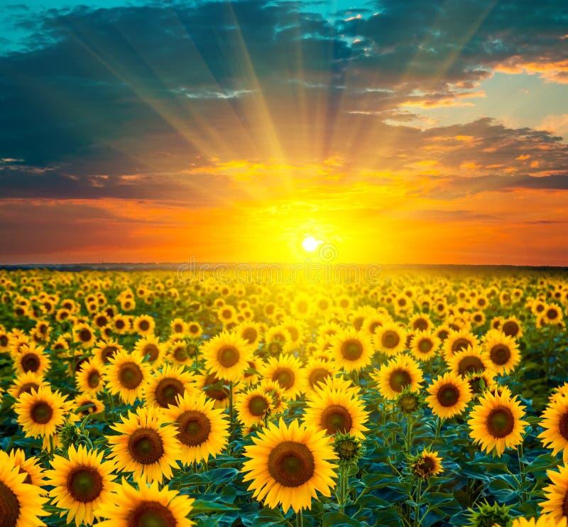 Solrosfält under solnedgång Härlig komposit av en soluppgång royaltyfri foto