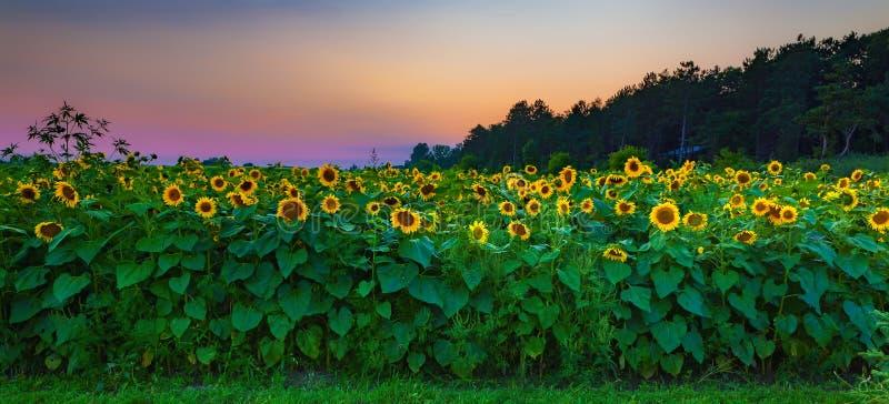 Solrosfältsolnedgång arkivfoto